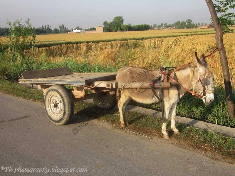 https://3.bp.blogspot.com/-LwKPQNMPABc/T51EfjYoT_I/AAAAAAAAI-A/EsRwciuePiM/s1600/donkey-cart-2.jpg