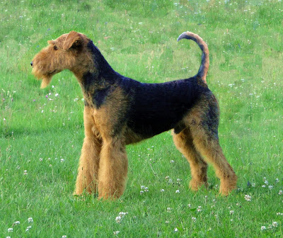 Airedale Terrier - The King of the Terriers