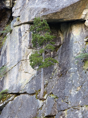 Tree growing on the side of a rock cliff