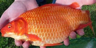 Umpan Jitu Ikan Mas Harian