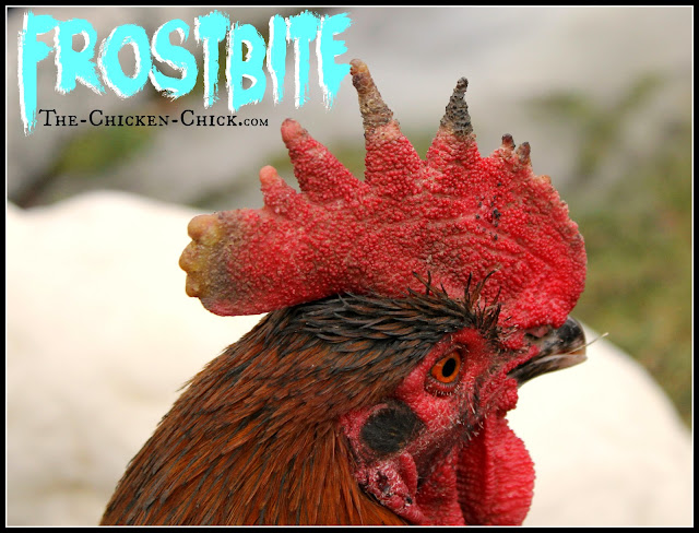 While access to drinking water is essential, ironically, water is also the enemy of chickens in winter. Most breeds tolerate cold extremely well, but freezing temperatures inside the coop in addition to moisture is the recipe for frostbite.