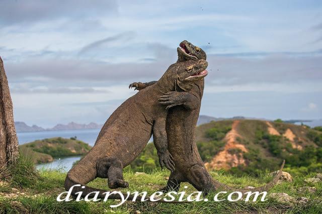 komodo dragon, komodo island, komodo national park, diarynesia