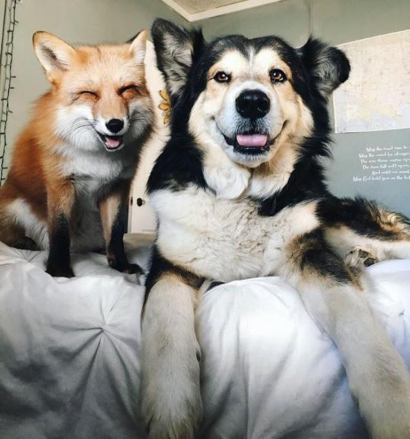 Đến con người cũng phải ghen tị với tình yêu của cặp chó - cáo đáng yêu