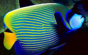Ciri Ikan Batman ( Pomancatus imperator )