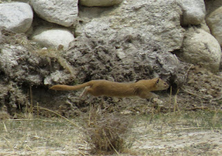 Mustela altaica, Mountain Weasel