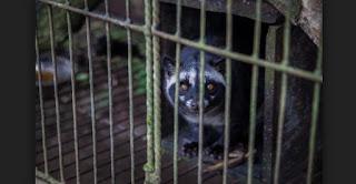 Kopi Luwak Indonesia