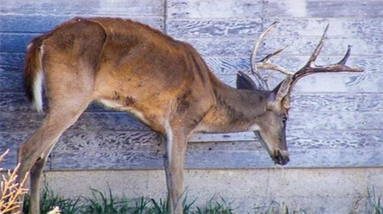 Doença do cervo zumbi - Img 1