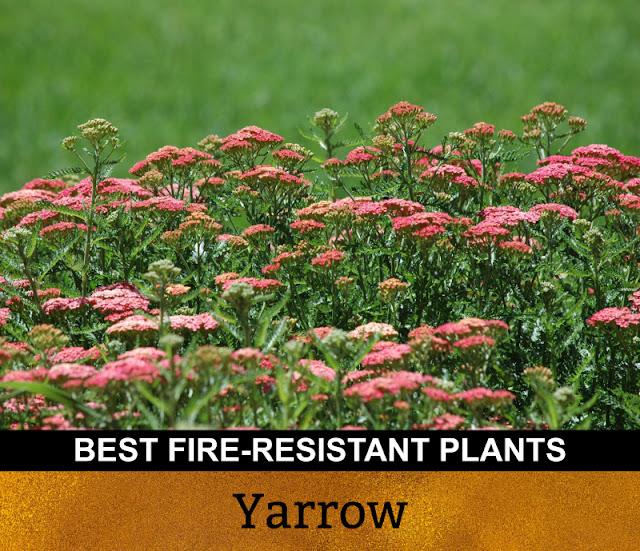 Best Fire Resistant Plants Yarrow