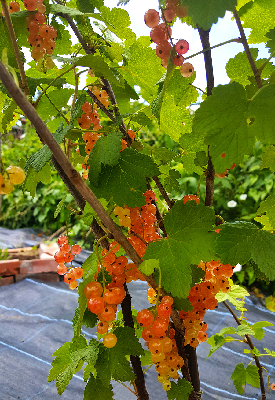Gourmet Gardening Pink Currants Beautiful Coral Coloured Berries