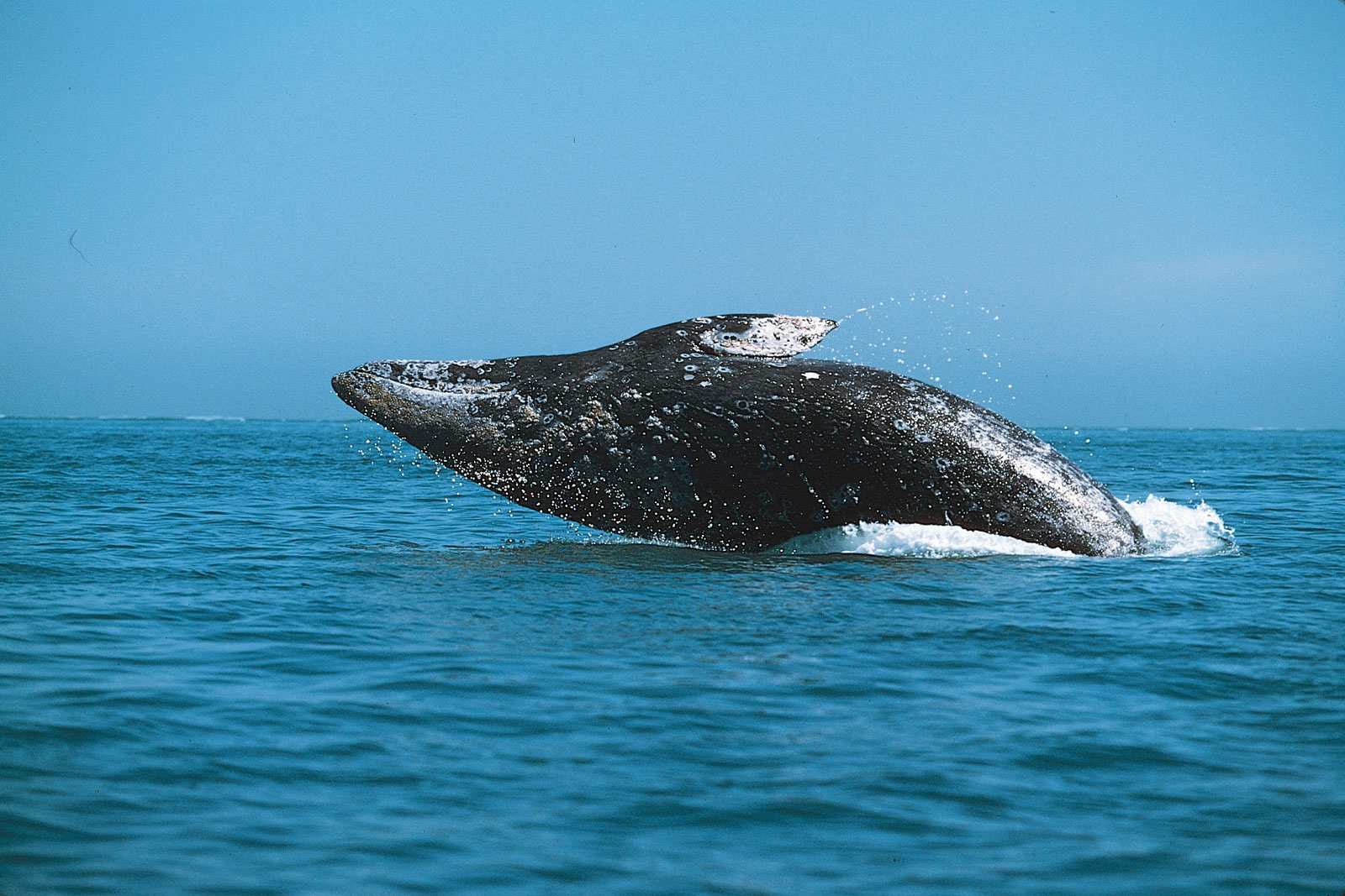 images of gray whales - photo #9