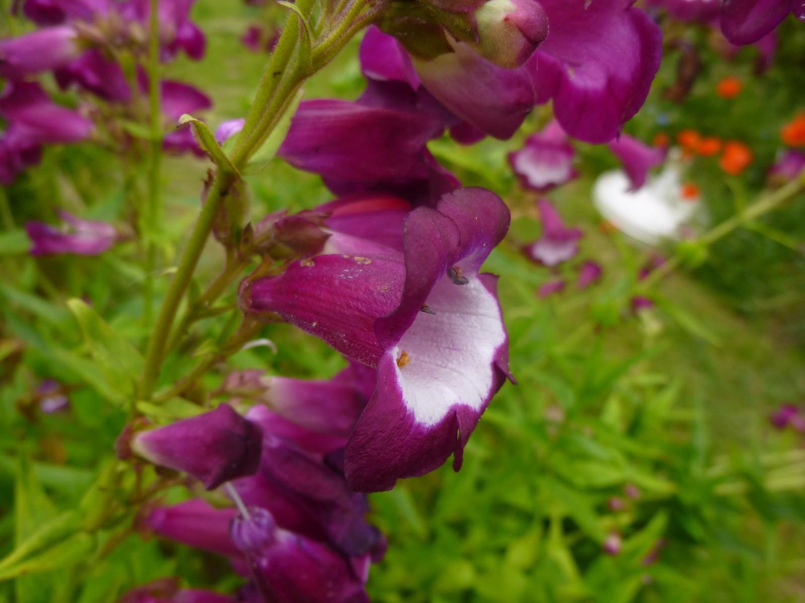 Cagouille 39 s garden le penstemon for Plante jardiland
