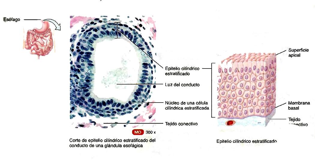 Tejido epitelial: Estructura anatómica y funciones