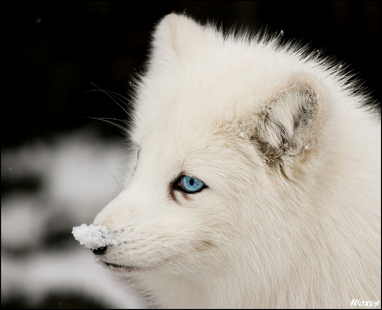 White Wolf All Decked Out In The Spirit Of White
