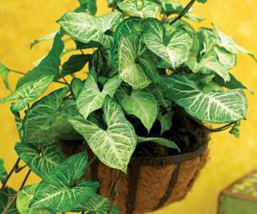 نبات رأس السهم – Arrowhead plant