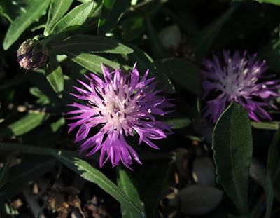 Cártamo silvestre (Centaurea jacea)