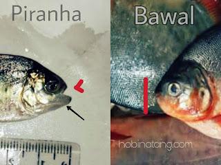 Perbedaan Ikan Piranha dan Bawal