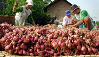 Tanda-tanda bawang merah siap panen