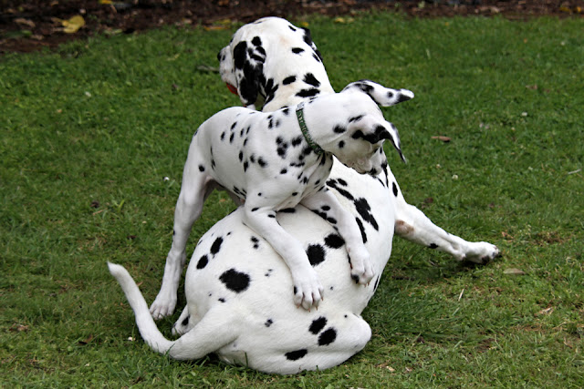Young Dalmatian puppy play wrestling with adult Dalmatian dog