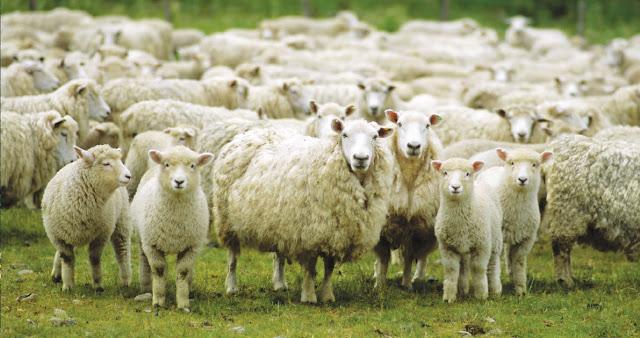 Πρόβατα έφαγαν κάνναβη «μαστούρωσαν» και μετά επιτέθηκαν σε χωριό!