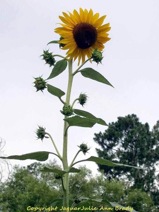 9 Foot Tall Sunflower Plant in My Sunflower Garden