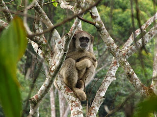 https://bio-orbis.blogspot.com.br/2014/03/muriqui-o-maior-primata-das-americas.html