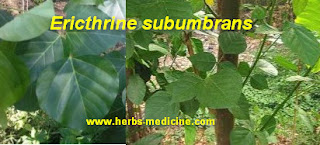Breast milk use Erythrina subumbrans