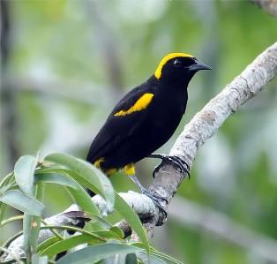 Kicau Burung Moriche Oriole (Rouxino)