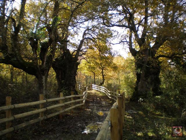 El bosque centenario de Munain-Okariz (Alava)