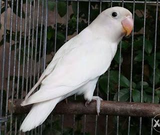 burung lovebird albino