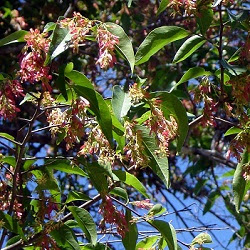 Viraró Ruprechtia laxiflora