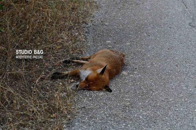 Ναύπλιο: Σκότωσαν αλεπού και της έκοψαν την ουρά