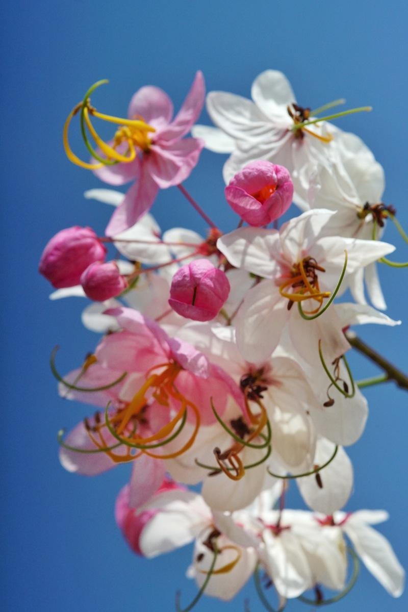Sakura sumba