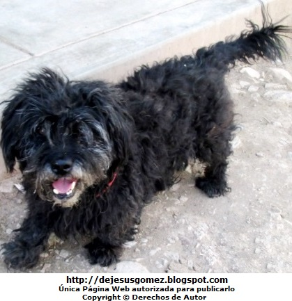 Perro con pelo rizado color negro. Foto de un perro tomada por Jesus Gómez