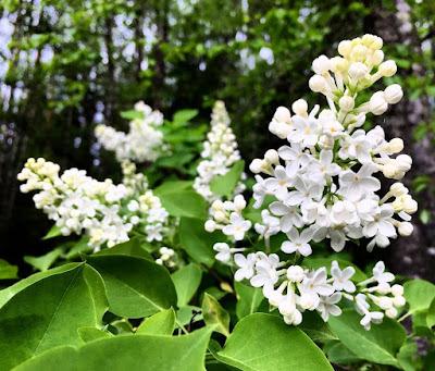 valkoinen syreeni valkoiset pienet kukat kasvavat kartion muotoon