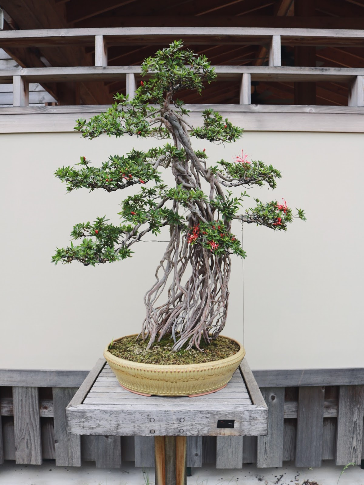 Not That I Thought Bonsai Trees Were A Myth But Guess Have Never Seen One In Real Life Or Knew There So Many Varieties They Are Literally
