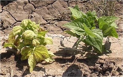 Image of two bean plants; the yellow one on the left is infected with a virus, the green one on the right is healthy