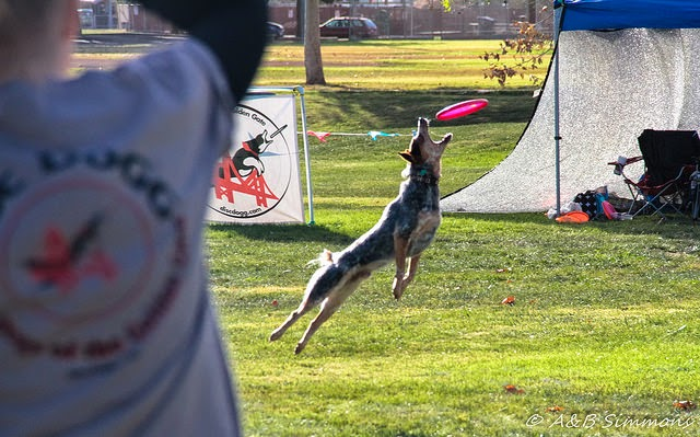 Disc Dog games, Toss and Fetch, Vader flying high