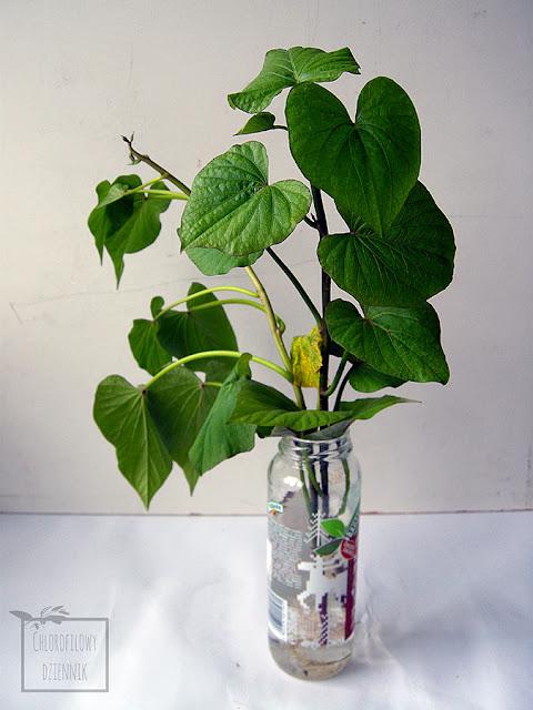 Egzotyczne i tropikalne rośliny użytkowe na polski warzywnik, uprawa w gruncie lub szklarni, ciekawe rośliny lecznicze, przyprawowe, jadalne hodowla w gruncie na działce. Rośliny na działkę. Łatwo dostępne rośliny tropikalne do uprawy w Polsce. Lista najpopularniejszych dziwnych i ciekawych roślin do gruntu.