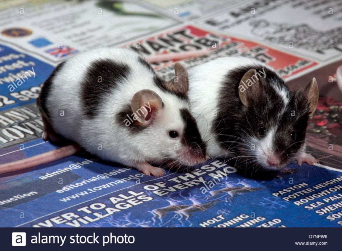 Domestic Pet Black and White or Pied Mice Mus musculus Stock