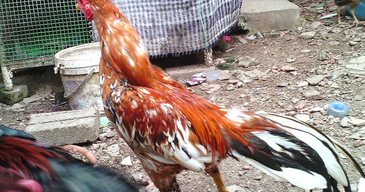 Pembiak Ayam Ratu LHK dan SG: Anak Muda untuk pembiakan