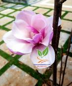 Hoa mộc lan, trang trí cho sân vườn trang nhã. 72a979b4c03723697a26