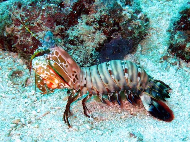 mantis shrimp, cebu, visayas, philippines