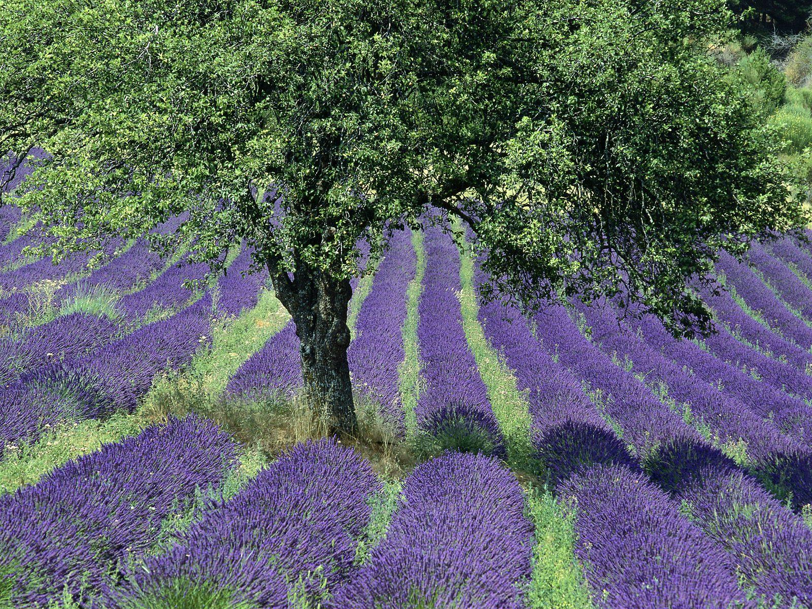 Miss Bloomers Heat Wave Amp Inspiring Lavender Farm