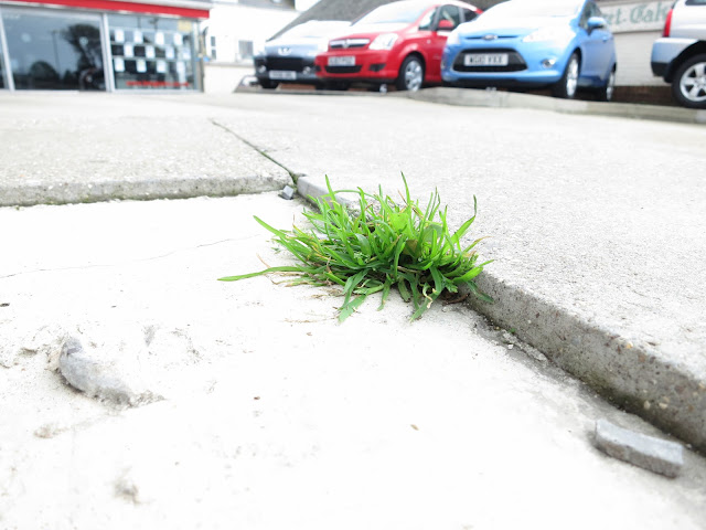 Small clump of grass in crack in concrete with cars for sale and showroom in background.