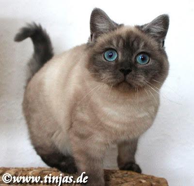 Britisch Kurzhaar, blaue Augen seal smoke point tinjas