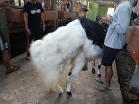 Beribadah dan Berinvestasi Ternak Kambing Di 78 Farm