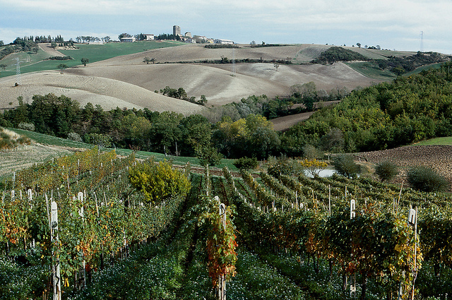 vineyards of Le Marche wine region