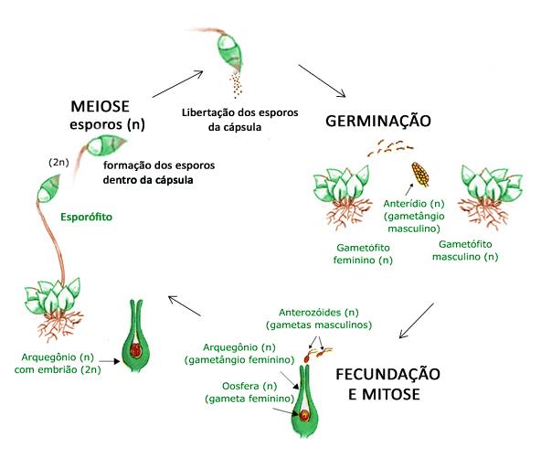 reprodução briófita