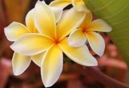 Kumpulan Gambar dan Jenis Bunga Melati
