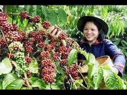 agar kopi berbuah lebat